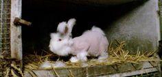 La souffrance des lapins angora d'élevage dénoncée par une association