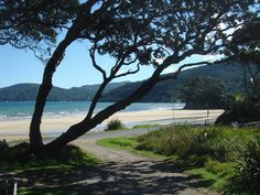 Pohutikawa on Great Barrier Island.....bliss