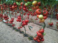 Seeds, Gardening, Vegetables, Food, Garden, Farmer, Horticulture, Vegetable Garden, Tomatoes