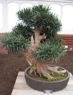 Podocarpus macrophyllus  Buddhist Pine bonsai  Artist: Keith Scott