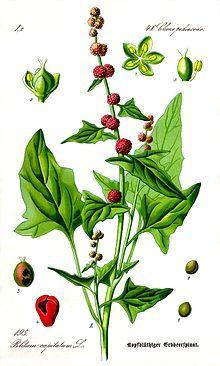 Ähriger Erdbeerspinat – Wikipedia