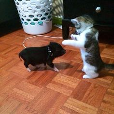 pretty kitten playing with a tiny pig http://www.mainecoonguide.com/maine-coon-personality-traits/