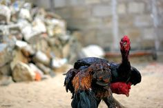 Justice for Thousands of Roosters Forced to Fight to the Death