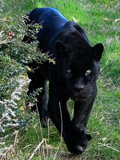 I want one of these.. Black Jaguar