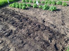 More potato plants planted where the lines are.