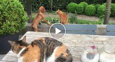 Gato Protege o Seu Amigo Cão Das Garras De Outro Gato