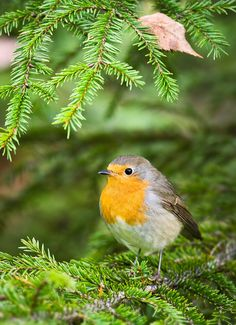 Robin i spruce (98861). autumn, erithacus rubecula, forest, forestry, landscape, nature photo, nature picture, photo, pjj, robin, six, softwood♥♥