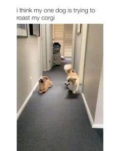 Doggo trying to roast corgi,dog GIFs Funny Animal Jokes, Funny Dog Memes, Really Funny Memes, Funny Dog Videos, Funny Animal Pictures, Corgi Videos, Cute Funny Dogs, Cute Funny Animals, Cute Animal Videos