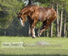 Quarter Horse stallion by markjbarrett, via Flickr