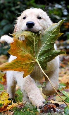Ici, c'est une photo d'un chien. J'ai choisi cette photo parce que le chien est adorable. J'ai aussi choisi cette photo parce qu'il a un feuille d'automne dans sa bouche et l'automne est ma saison favori.