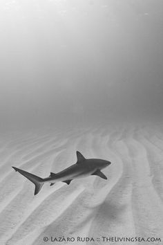 ✯ Sharks - Living Fossils ~by TheLivingSea.com ✯