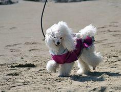 Valentina Ajelen sulla spiaggia d'inverno    Cammina tranquilla .. e' un barboncino o meglio una barboncina con una eleganza tutta sua by Ajelen via flickr