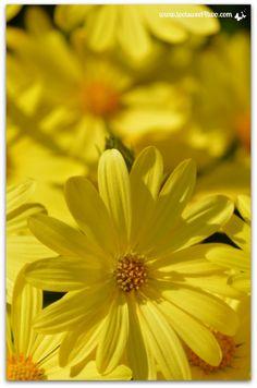 Yellow daisies verti
