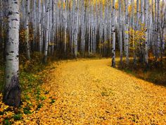 Colorful Leaves of Colorado's Aspen Trees Photo by Ron Azevedo- My Modern Metropolis