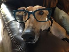 Need help with your studies? Greyhounds will help you read the fine print! | 30 Reasons Greyhounds Are Gentle Giants And You Should Adopt One