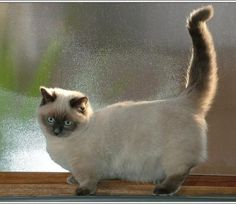The Munchkin cat breed is known for being short-legged or midget cats. Learn all about this breed with Munchkin cat facts, history & more on petMD. Siamese Cats, Cats And Kittens, Kitty Cats, Hairless Cats, Bengal Cats, Chat Munchkin, Cat Fountain, Super Cat, Norwegian Forest Cat