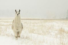 My love for llamas, snow & photography all in one.   http://www.etsy.com/listing/85360450/photography-llama-fine-art-snow-art