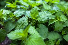 Stinging Nettles the Super Food?