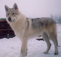 Czechoslovakian Wolfdog - Wild and Pet Tamaskan Dog, Animals And Pets, Cute Animals, Czechoslovakian Wolfdog, Wolf Dogs, Dogs Of The World, Puppies For Sale, Elves, Animals Beautiful