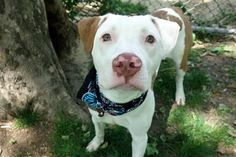 "5/25/17 THE PUPPY MURDERERS AT NYCACC FOUND ANOTHER VICTIM AGAIN, LOGAN IS BARELY 1 YEAR AND THEY´RE PLANNING TO MURDER HIM DUE ""SICK""! PLEASE CONTRIBUTE STOPPING THE MASS MURDERS AT NYCACC BY BEING THIS PUPPY´S FOREVER HERO! /IJ Manhattan Center  My name is LOGAN. My Animal ID # is A1112242. I am a neutered male white and brown pit bull mix. The shelter thinks I am about 1 YEAR  I came in the shelter as a STRAY on 05/17/2017 from NY 10456, owner surrender reason stated was STRAY."
