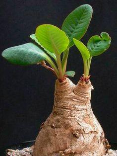 Euphorbia primulifolia → Plant profile and more photos at: http://www.worldofsucculents.com/euphorbia-primulifolia/