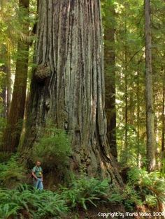 California's Redwoods - Taller than a football field and older than Jesus.