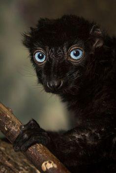 blue eyed black lemur