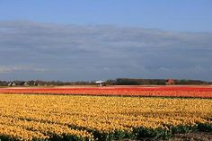 The tulip fields in North Holland. May is the best time to see them like this.