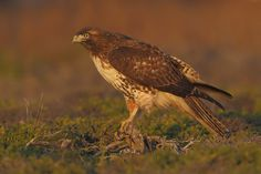 Red-tailed hawk by Ari Hazeghi, via 500px