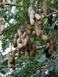 Tamarind (Tamarindus indica) is indigenous to tropical Africa produces edible pod-like fruits which are used extensively in cuisines around the world