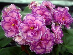 ☘ PT-ANGELICA ☘ African Violet Plant Saintpaulia ☘ Starter Plug ☘ Russian