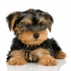 Potty train your yorkie Step by Step.  Yorkie potty training is one of the most common questions I get asked by owners. One of the most exciting times for any family is when you bring your Yorkie puppy home for the first time.  Once home its now...