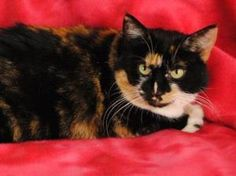 Hallie is an adoptable Domestic Short Hair Cat in Boulder, CO. Hallie is such a lovely lady! In her previous home she had a hard time moving from a quiet home to a bigger, more active household. She w...
