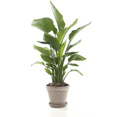 De Strelitzia 'Nicolai', ook wel paradijsvogelplant genoemd