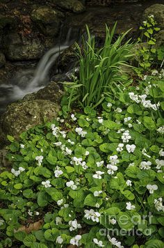 White Canada violets blooming in a spring forest near creek - Elena Elisseeva