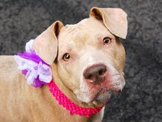 TO BE DESTROYED - 03/21/15 Manhattan Center -P My name is NENA. My Animal ID # is A1030123. I am a female tan and white am pit bull ter mix. The shelter thinks I am about 1 YEAR 6 MONTHS old. For more information on adopting from the NYC AC&C, or to find a rescue to assist, please read the following: http://urgentpetsondeathrow.org/must-read/