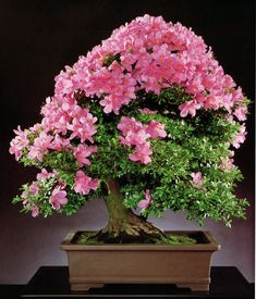 "sattimelesstrees This Satsuki azalea (Rhododendron indicum ""Shi-o"") resides at the National Bonsai & Penjing Museum. It was donated by Mr. Tomio Kato. The photo appears in Timeless Trees by Peter & Mary Bloomer."