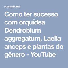 Como ter sucesso com orquídea Dendrobium aggregatum, Laelia anceps e plantas do gênero - YouTube