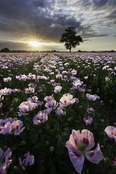 Dorset poppies - by Simon Byrne