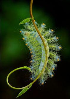 © Alex.G.Chun Seong - Larva of an Archduke Butterfly (Lexias pardalis dirteana)