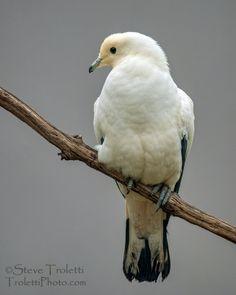 Pied Imperial Pigeon / Carpophage blanc