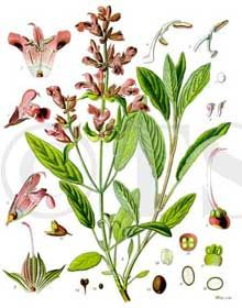 Garden Sage Herb Uses, Side Effects and Benefits