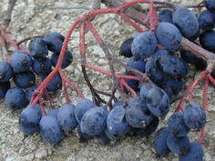 Northern Wild Raisins  aka Viburnum cassinoides