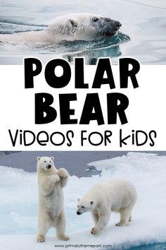 Polar Bear Videos for Kids - Primary Theme Park Where Polar Bears Live, Penguins And Polar Bears, Cute Polar Bear, Polar Bear Adaptations, Polar Bear Video, Artic Animals, Wild Animals, Baby Animals, Polar Bear Hunting