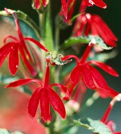 Bright red blossoms  Cardinal flower (Lobelia cardinalis, left) attracts hummers with fire truck red blossoms on 2- to 3-foot-tall stalks from late summer through fall. Grow in full sun or part shade. Zone 2.