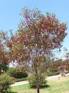 Eucalyptus forrestiana - Fuchsia Mallee