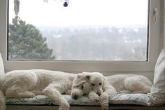 The Poodle Patch — Sleepy poodles…  look familiar…