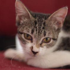 """""""Bela é uma dessas gatinhas apaixonantes... Uma filhotinha de 4 meses que tem ternura no olhar e ronron delicado. Gosta muito de uma fitinha para perseguir…"""""""