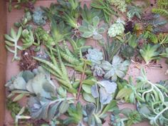 "nice image  Succulent Centerpieces, Living Walls, Weddings Gift Give Aways- 20 2"" Cuttings of Succulents/ Sedums"