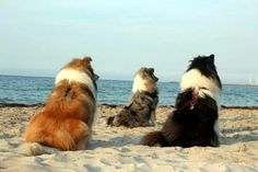 Collie coat color visual, from left: sable & white, blue merle, and tri-color. <3